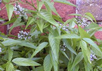 Culen Powder  Otholobium glandulosum Psoralea glandulosa