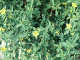 Damiana Powder  Turnera aphrodisiaca