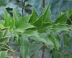 Espinheira Santa Powder  Maytenus ilicifolia