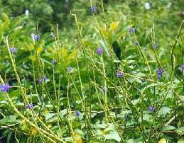 Gervao is traditioanlly used as a antihistamine, bronchodilator, anti inflammatory,antacid and as an antiparsitic