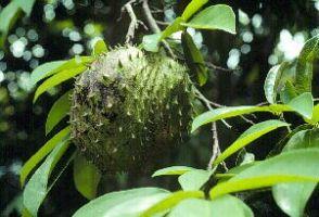Graviola Powder  Annona muricata