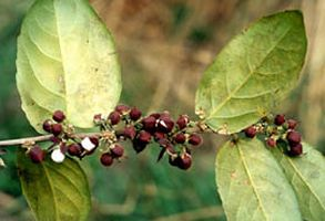 Guacatonga purports to be antivancerous, antitumorous, antiulcerous, antivenin, anti-inflammatory and sarcoma