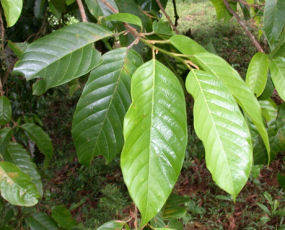Huacapu is purported to be antivirul,antitumorous, antiparasitic, analgesic and anti-inflammatory
