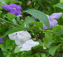 Manacá Powder  Brunfelsia uniflora