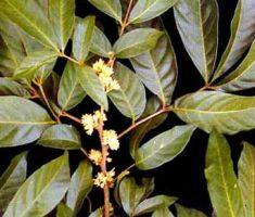 Muira Puama Powder  Ptychopetalum olacoides