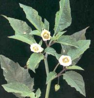 Mullaca Powder  Physalis angulata