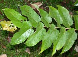 Mutamba purported to be an antibacterial, antiviral, antifungal, antioxidant and a hypotensive