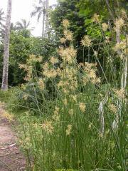 Piri-Piri Powder  Cyperus articulatus