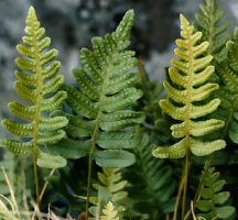 Samambaia Powder  Polypodium sp
