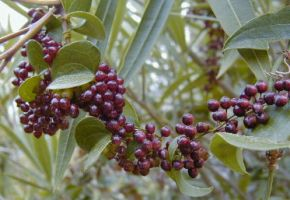 Sarsaparilla Powder  Smilax officinalis